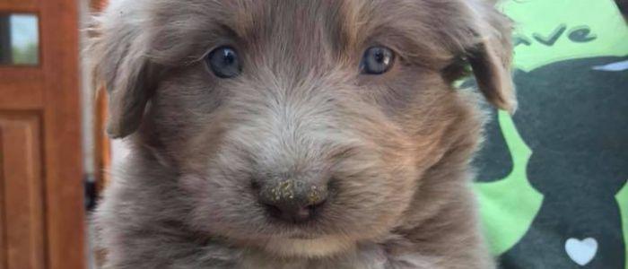 Available Puppies | Lifeline Puppy Rescue - Brighton, Colorado